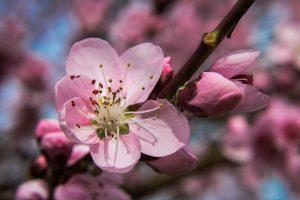 Weinbergpfirsichblüte
